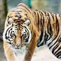 Feng Shui Horoscope 2014 for the Tiger